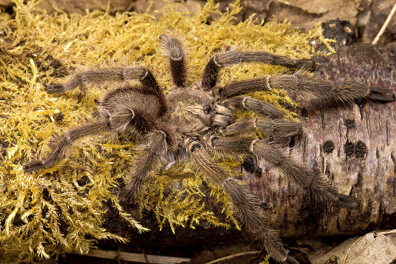 Haploclastus nilgirinus