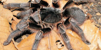 Acanthoscurria paulensis