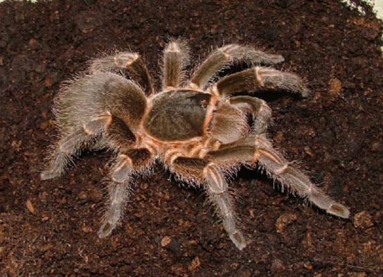 Acanthoscurria cordubensis