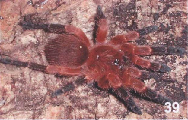 Neischnocolus yupanquii