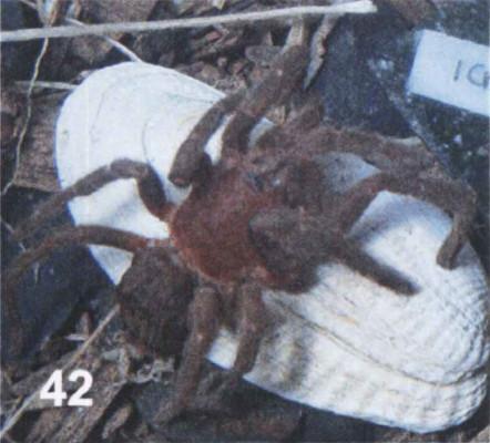 Neischnocolus amazonica