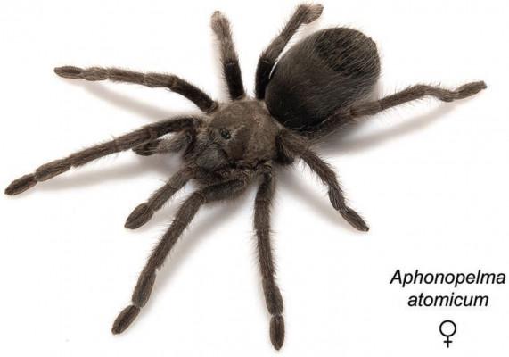 Aphonopelma atomicum