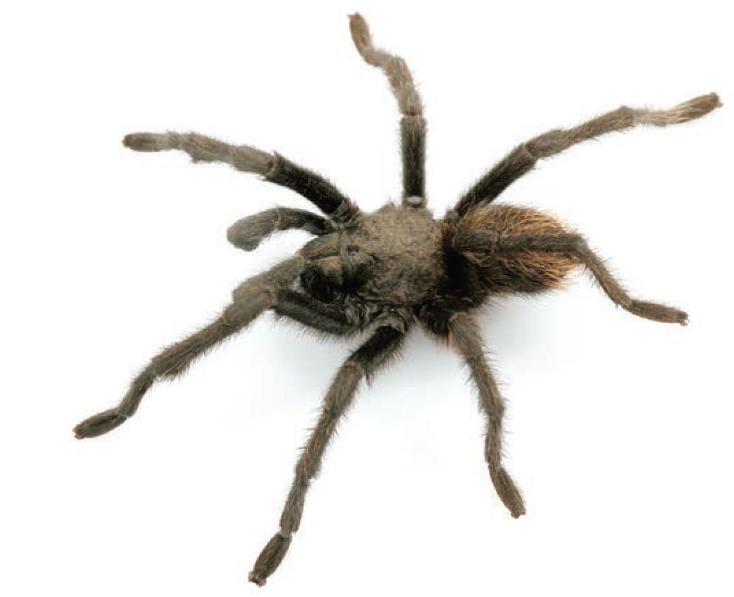 Aphonopelma chiricahua