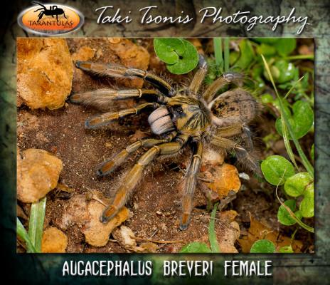 Augacephalus breyeri