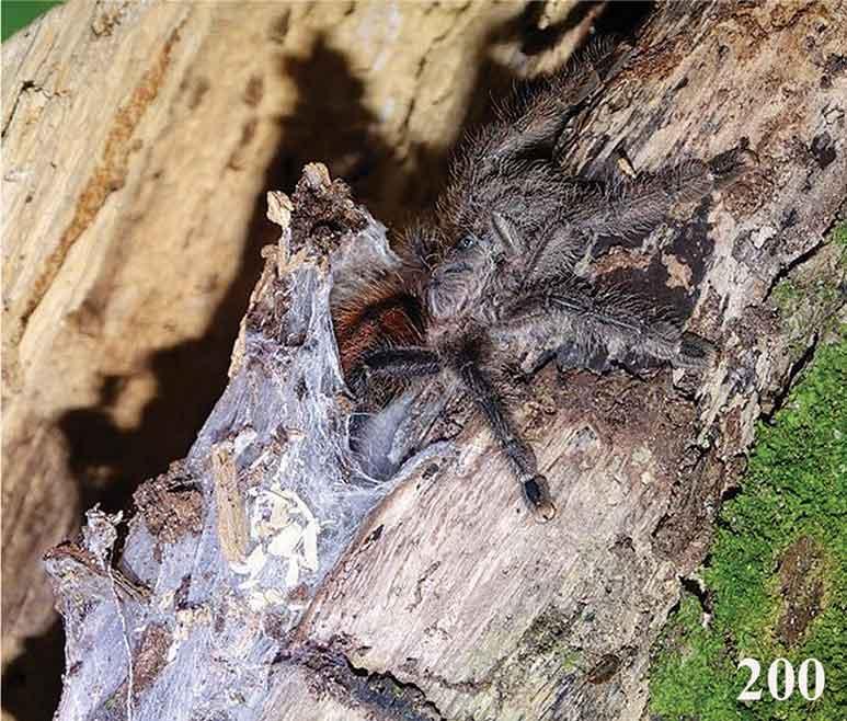 Avicularia merianae