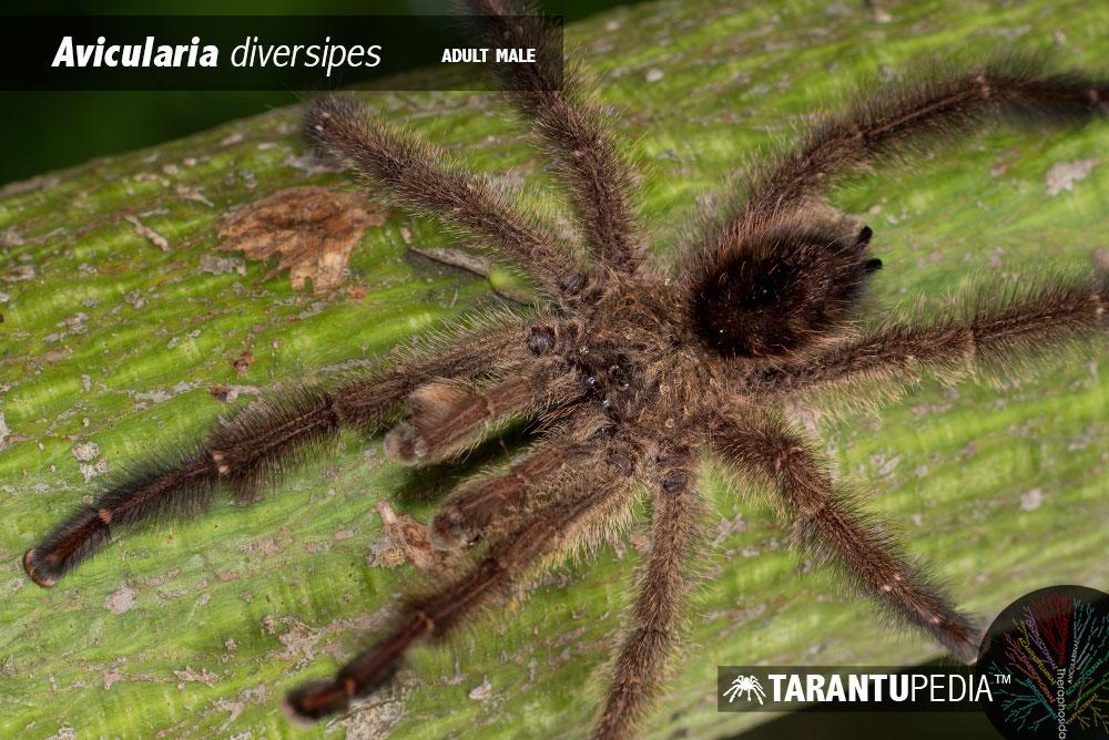 Ybyrapora diversipes