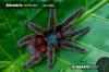 AviculariaversicolorAdultFemale1.jpg