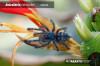 AviculariaversicolorSpiderling.jpg