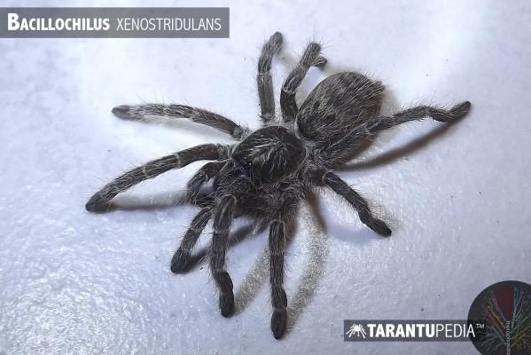 Bacillochilus xenostridulans