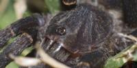 Brachionopus robustus