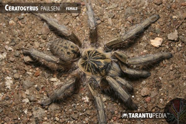 Ceratogyrus paulseni
