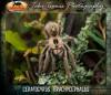 Ceratogyrusbrachycephalus1.jpg