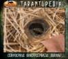 CeratogyrusbrachycephalusBurrow4.jpg