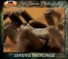 CeratogyrusbrachycephalusHorn.jpg