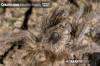 CeratogyrusbrachycephalusSpiderlingLimpopo2.jpg