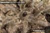 CeratogyrusbrachycephalusSpiderlingLimpopo4.jpg