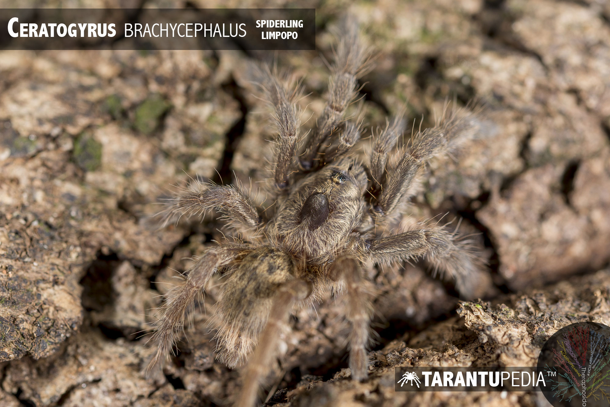 Ceratogyrus brachycephalus