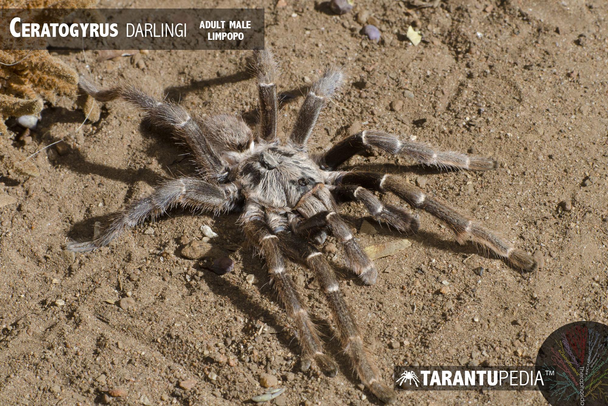 Ceratogyrus darlingi
