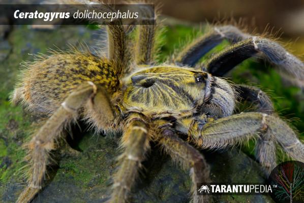 Ceratogyrus dolichocephalus