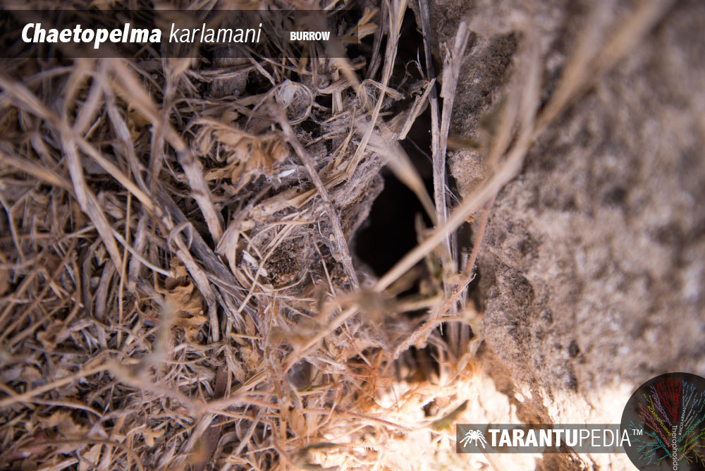Chaetopelma karlamani