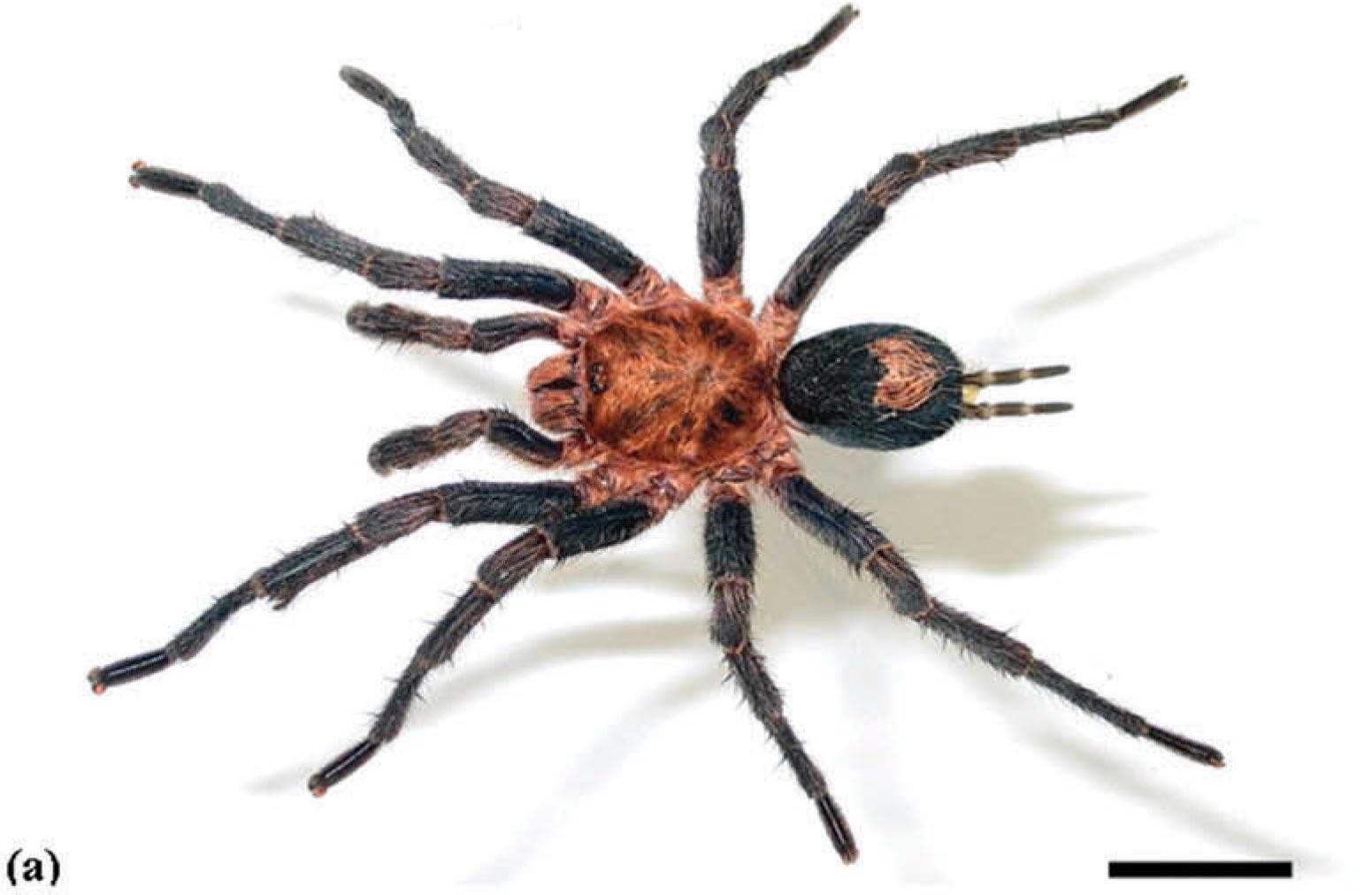 Cyriocosmus itayensis