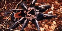 Cyriocosmus nicholausgordoni
