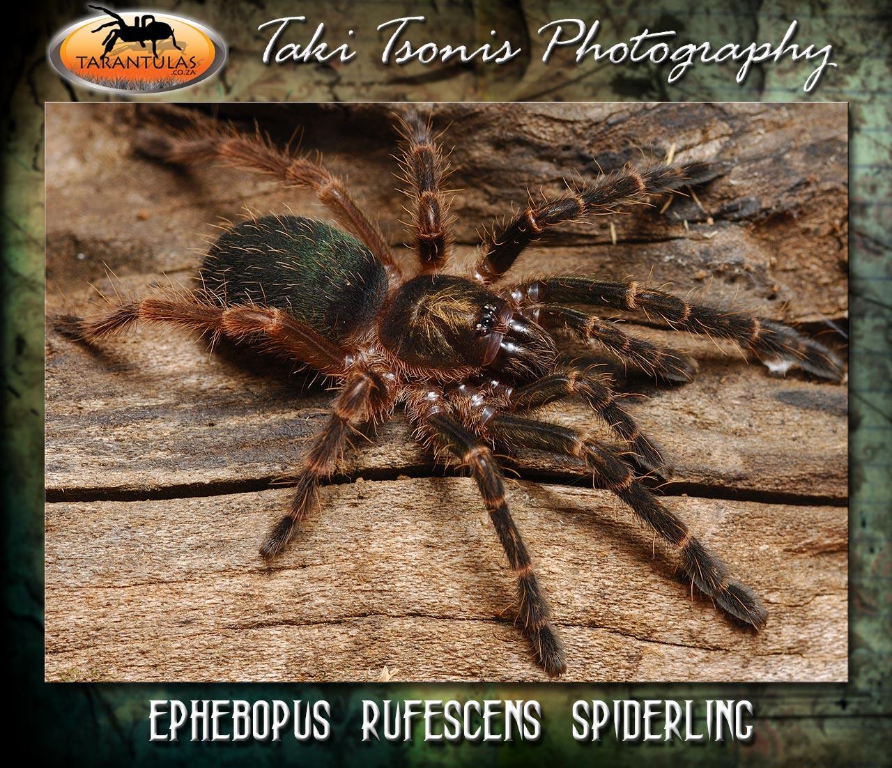 Ephebopus rufescens