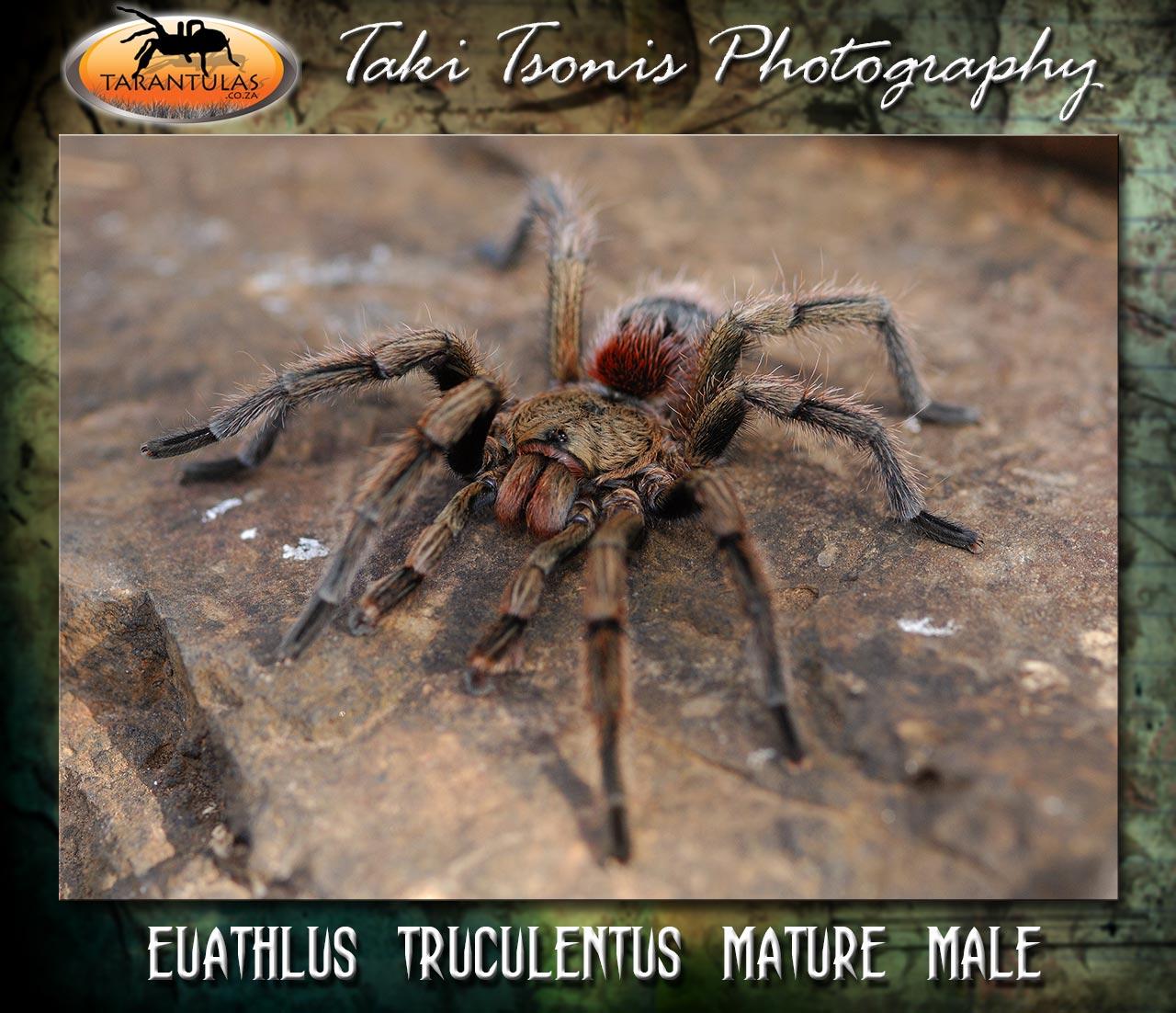 Euathlus truculentus Mature Male