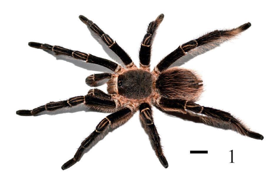 Eupalaestrus larae
