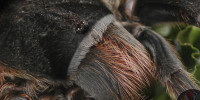 Grammostola alticeps