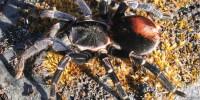 Hapalotremus carabaya