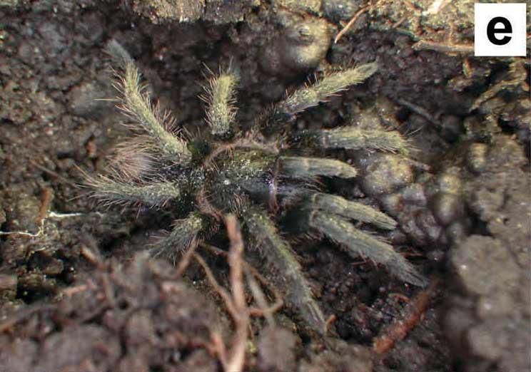 Hapalotremus chasqui