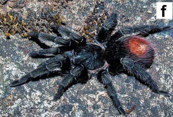 Hapalotremus marcapata