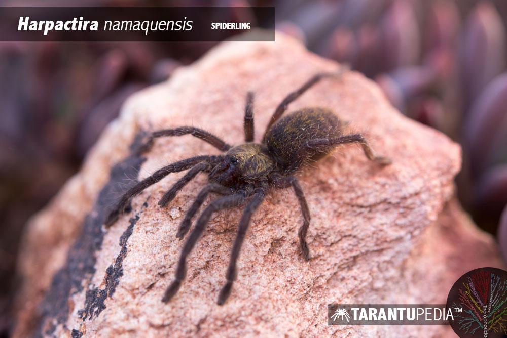 Harpactira namaquensis