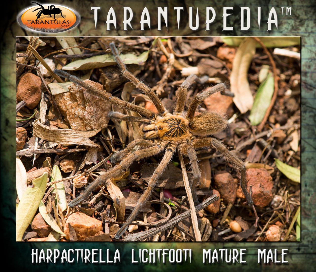 Harpactirella lightfooti