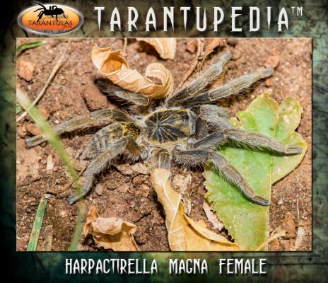 Harpactirella magna