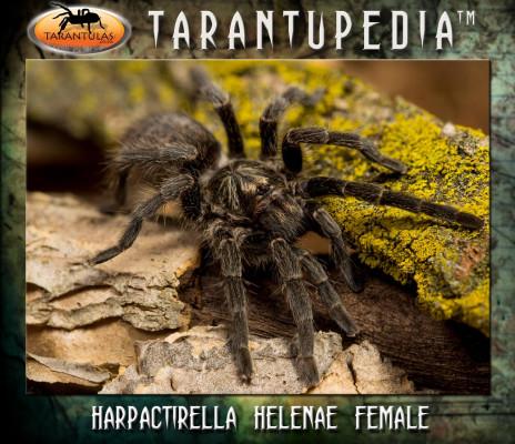 Harpactirella helenae
