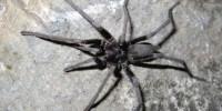 Hemirrhagus kalebi