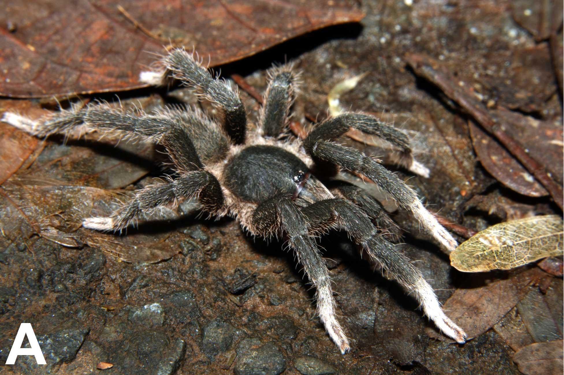 Heterophrictus aareyensis