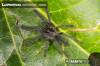 LampropelmanigerrirumSpiderling1.jpg