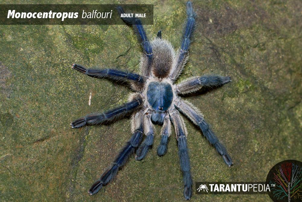 Monocentropus balfouri