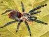 OdiamantenensisHolotypeFemale.jpg