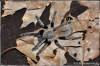 OrnithoctonusaurotobialisAdultFemale.JPG