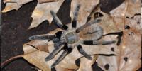 Ornithoctonus aureotibialis
