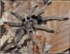 OrnithoctonusaurotobialisAdultMale.JPG