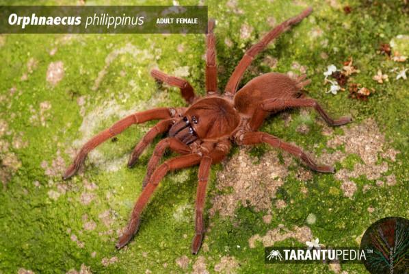 Orphnaecus philippinus