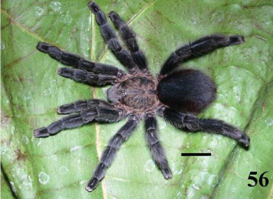 Pachistopelma bromelicola