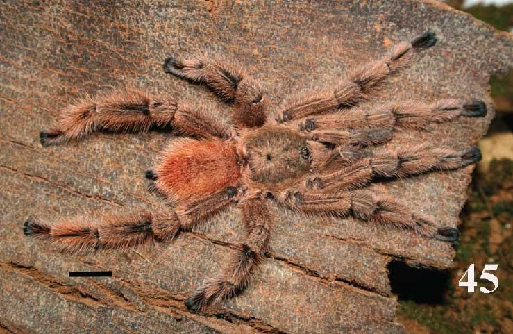 Pachistopelma rufonigrum