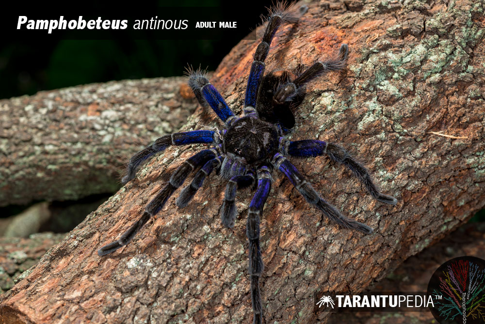 Pamphobeteus antinous
