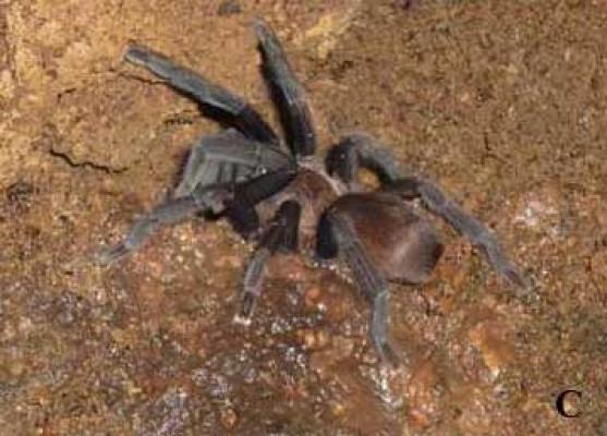 Orphnaecus kwebaburdeos
